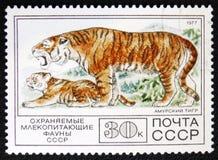 Amur tiger, circa 1977 Arkivfoto