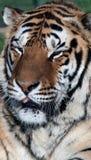 Amur Tiger 3 Royalty Free Stock Image
