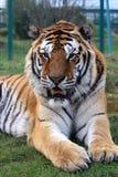 Amur Tiger 6 Stock Photo