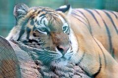 Amur tiger closeup resting on the tree Royalty Free Stock Photo