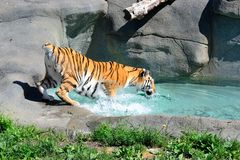 Amur Tiger cooling off Stock Images