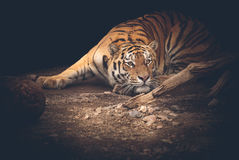 Tiger. The Amur tiger crouched on the hunt Royalty Free Stock Photos