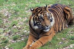 Amur Tiger Cub 1 Imagen de archivo libre de regalías
