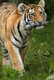 Amur Tiger Cub Royalty Free Stock Photos