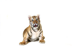 Amur-Tiger Cub Stockfoto