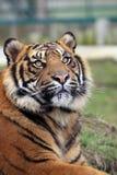Amur Tiger Cub 3 Stock Photo