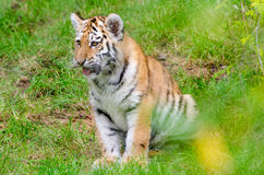 Amur Tiger Cub. An Amur Tiger cub sits and observes Royalty Free Stock Photography