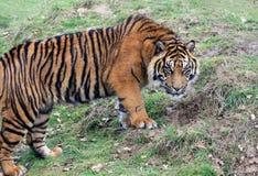 Amur Tiger Cub som är klar att gräva ett hål Royaltyfri Bild