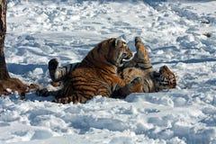 Amur Tiger cubs playing Royalty Free Stock Image