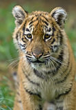 Amur tiger; Stock Photo