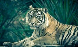 Amur-Tiger, der auf einer Plattform von Planken liegt Lizenzfreies Stockfoto