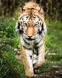 Amur Tiger On der Prowl Stockbilder