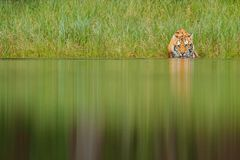 Amur tiger drinking lake water. Danger animal, tajga, Russia. Animal in green forest stream. Grey stone, river droplet. Stock Image