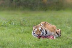 Amur tiger eating prey Royalty Free Stock Photo