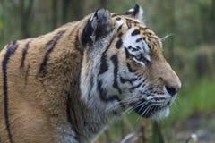 Amur tiger eller Siberian tiger Royaltyfri Fotografi