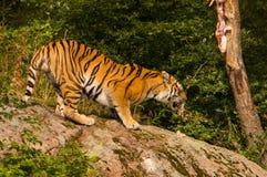 Amur tiger feeding Stock Image
