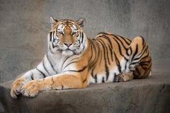 Amur tiger. Fenake Amur tiger (Panthera tigris altaica) laying on rocky ledge Royalty Free Stock Images