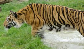Amur Tiger in Flight. Amur Tiger jumping out of pool of water Royalty Free Stock Photo