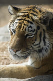 Amur Tiger Full Facial View. Amur Tiger also known as Siberian Tiger closeup showing full facial view stock photos