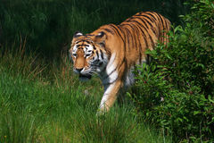 Amur Tiger in a green field Stock Photography