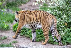 Amur tiger i en Berlin Zoo, Tyskland arkivbilder