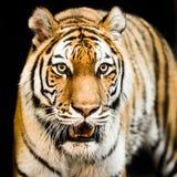 Amur tiger II Arkivbild