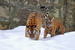 Amur tiger with its young one Stock Images