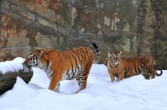 Amur tiger with its young one Royalty Free Stock Photography