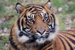 Amur Tiger laying down 2 Royalty Free Stock Image