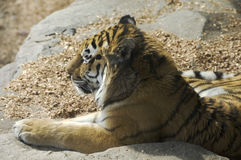 Amur Tiger Laying in Sun. Amur Tiger also known as Siberian Tiger closeup showing one side of face and relaxed laying in sun stock photos