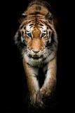 Amur Tiger On le vagabondage II image libre de droits