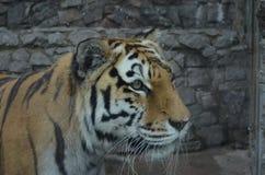 Amur tiger Royalty Free Stock Photography