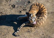 Amur tiger licks Royalty Free Stock Image