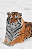 Amur Tiger Lies in Snow Stock Photography