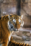 An amur tiger looking into the camera Royalty Free Stock Images