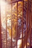 The Amur tiger is looking at us through the bars. Stock Image