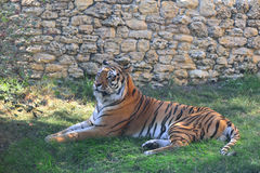 The Amur tiger is lying on the grass at the zoo Royalty Free Stock Images