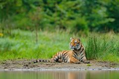 Amur tiger lying near lake water. Danger animal, tajga, Russia. Animal in green forest stream. Grey stone, river droplet. Siberian. Tiger near the lake stock image
