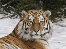 Amur tiger. Lying in the snow Royalty Free Stock Images