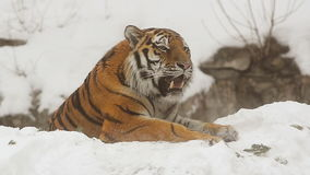 Amur Tiger. Male in winter stock video