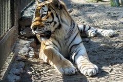 Amur tiger med orange och vit ull arkivfoto