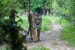 Amur tiger moving along a path in the forest Stock Photo