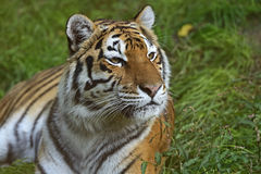 Amur Tiger. In the natural conditions of nature Stock Photo