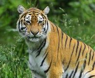 Amur Tiger Stock Photo