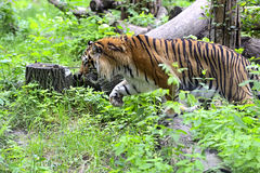 Amur Tiger Royalty Free Stock Images