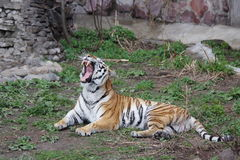 Amur tiger with an open fall on a green grass. In the Moscow zoo, Russia Stock Photos