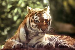 Amur tiger outdoors Stock Image