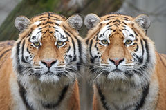 Amur-Tiger (Panthera Tigris altaica) Stockfoto