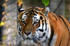 Amur tiger Panthera tigris altaica. Also known as Siberian tiger Stock Image