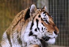 Amur Tiger / Panthera Tigris Altaica. A close up image of the head and face of a rare Amur Tiger / Panthera Tigris Altaica Royalty Free Stock Photos